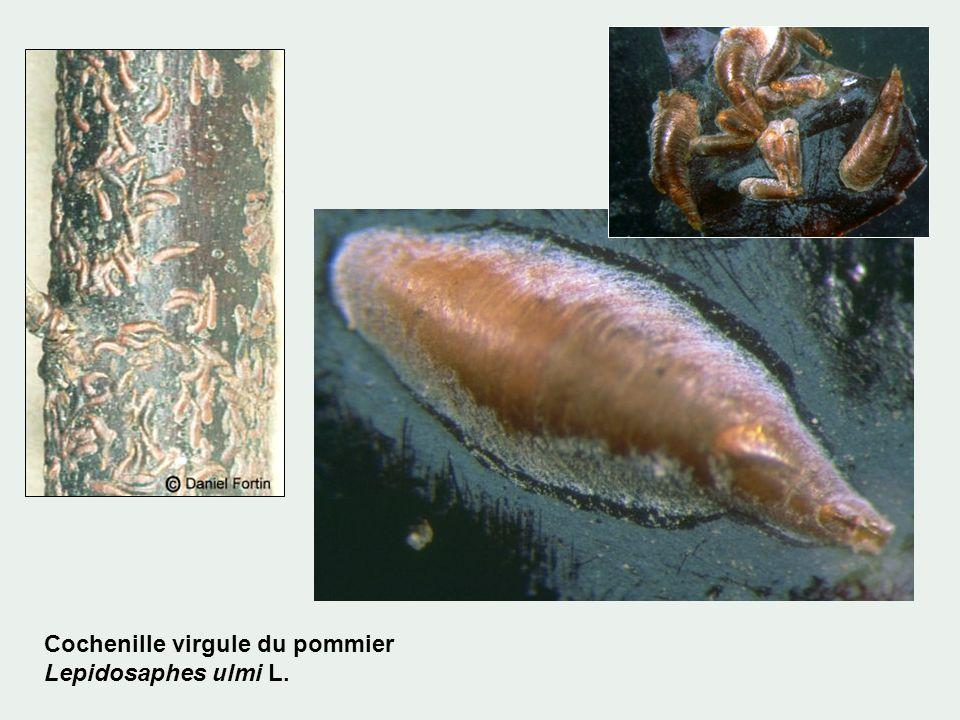 Cochenille virgule du pommier Lepidosaphes ulmi L.