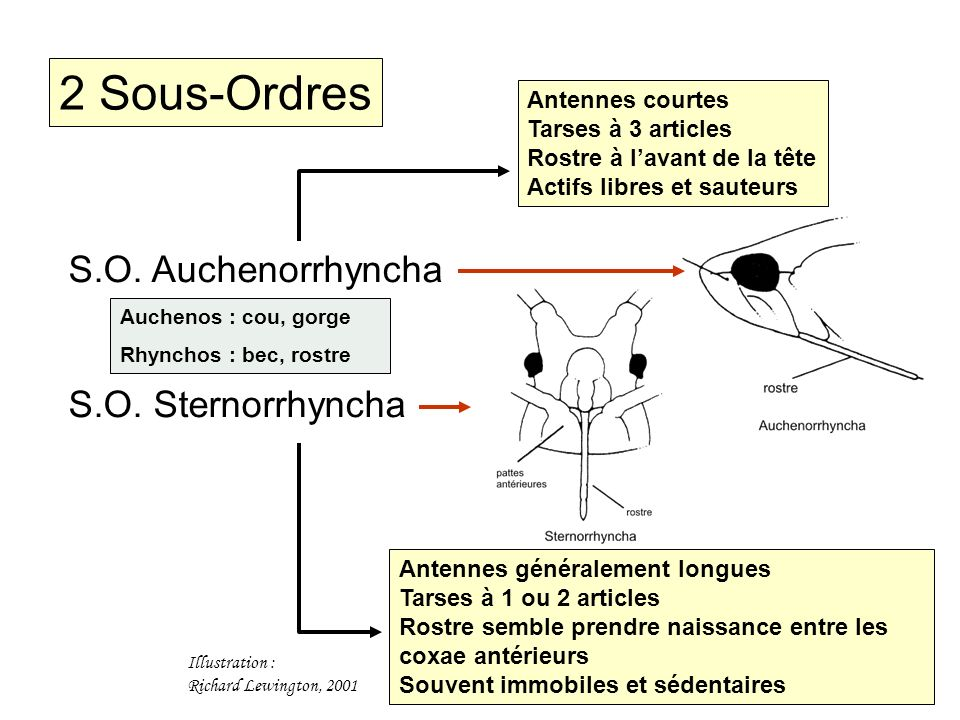 2 Sous-Ordres S.O. Auchenorrhyncha S.O. Sternorrhyncha