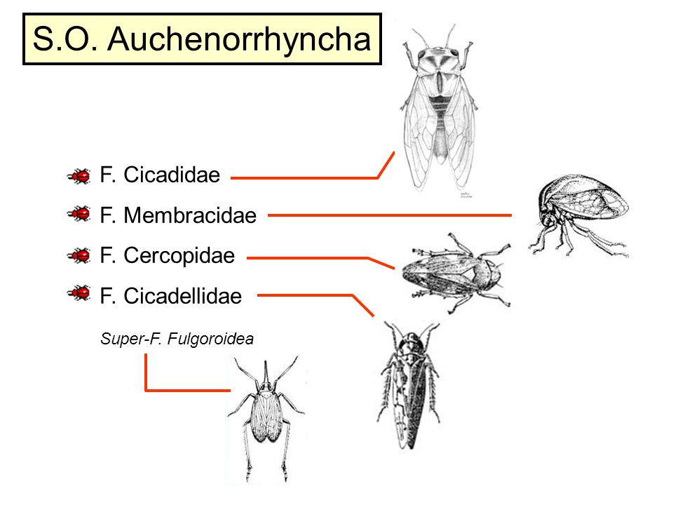 S.O. Auchenorrhyncha F. Cicadidae F. Membracidae F. Cercopidae