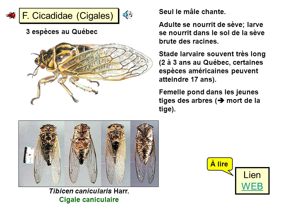 Tibicen canicularis Harr. Cigale caniculaire
