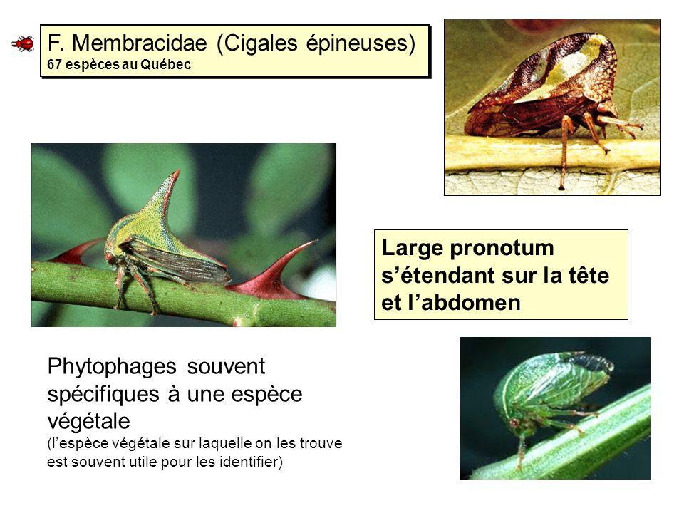 F. Membracidae (Cigales épineuses) 67 espèces au Québec