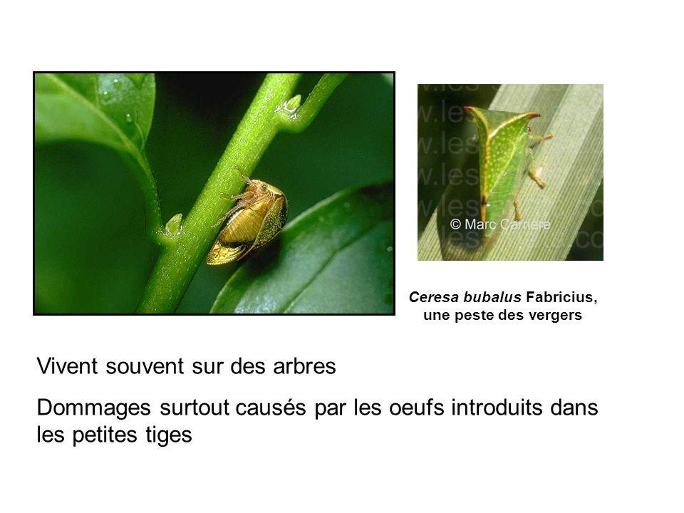 Ceresa bubalus Fabricius, une peste des vergers