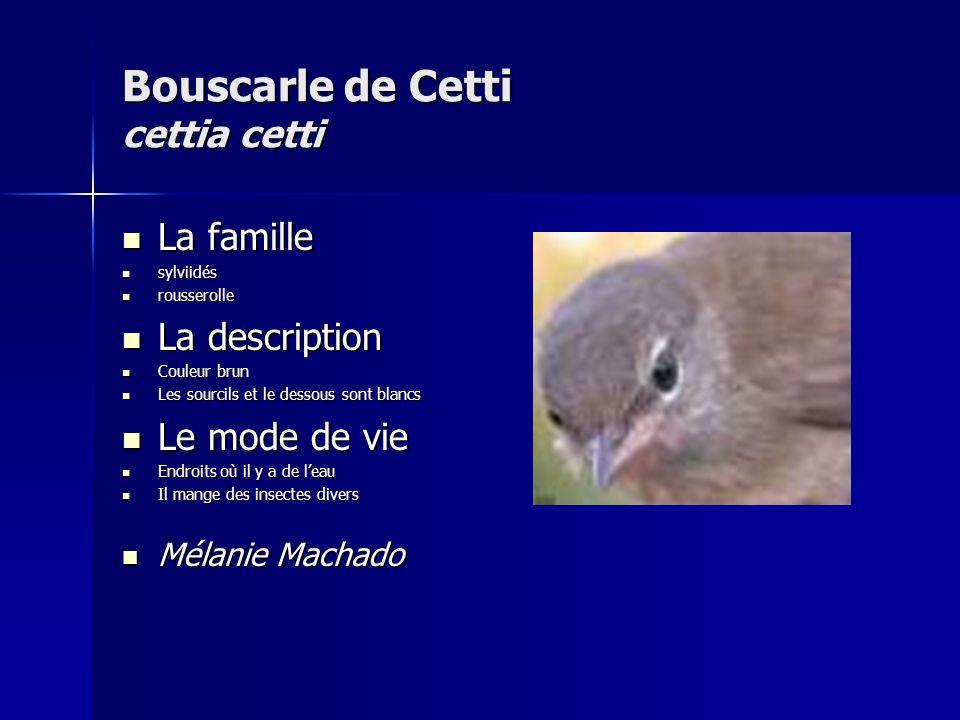 Bouscarle de Cetti cettia cetti