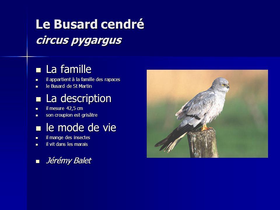Le Busard cendré circus pygargus