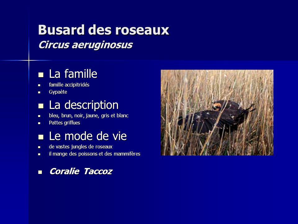 Busard des roseaux Circus aeruginosus