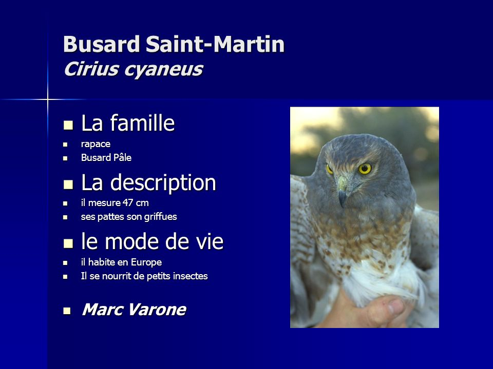 Busard Saint-Martin Cirius cyaneus