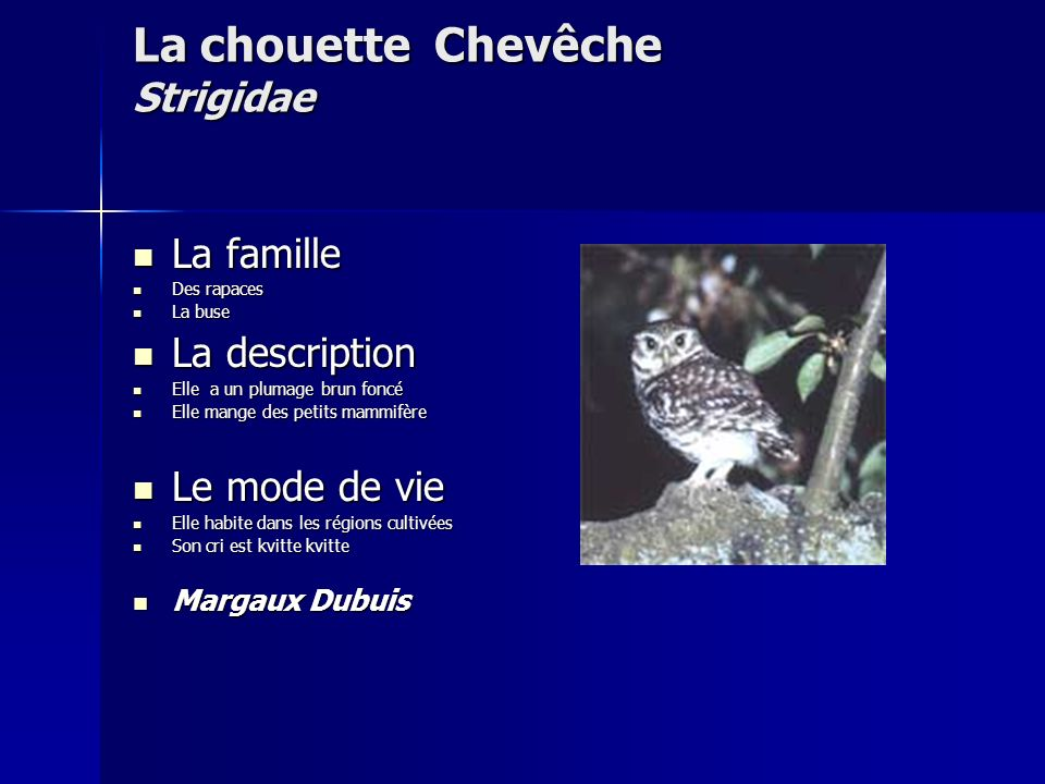 La chouette Chevêche Strigidae