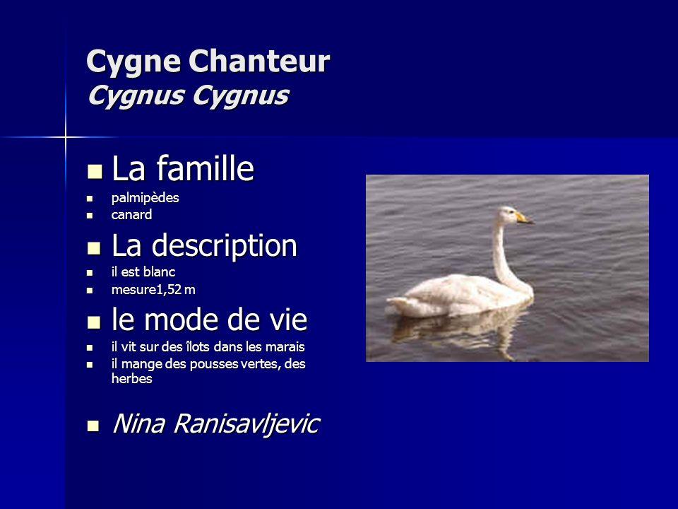 Cygne Chanteur Cygnus Cygnus
