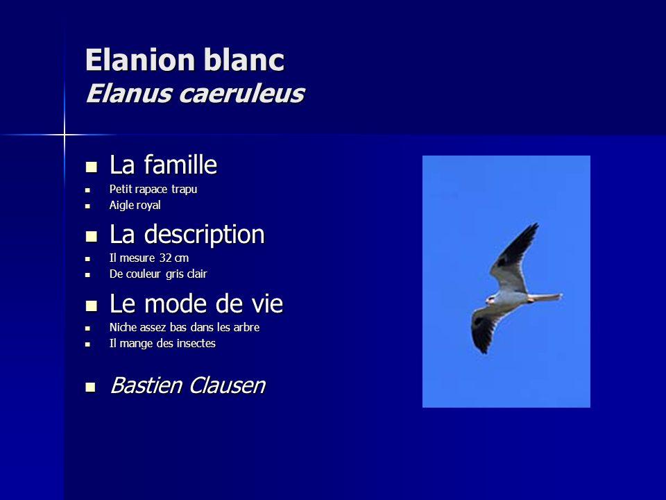 Elanion blanc Elanus caeruleus