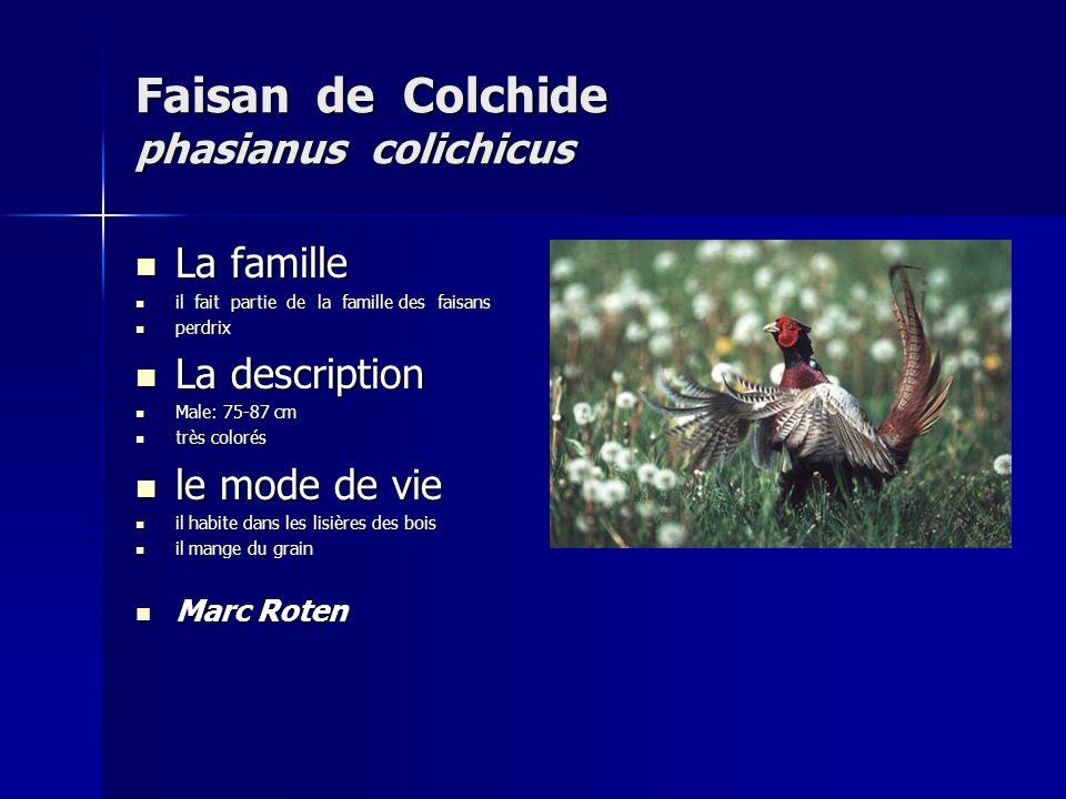 Faisan de Colchide phasianus colichicus