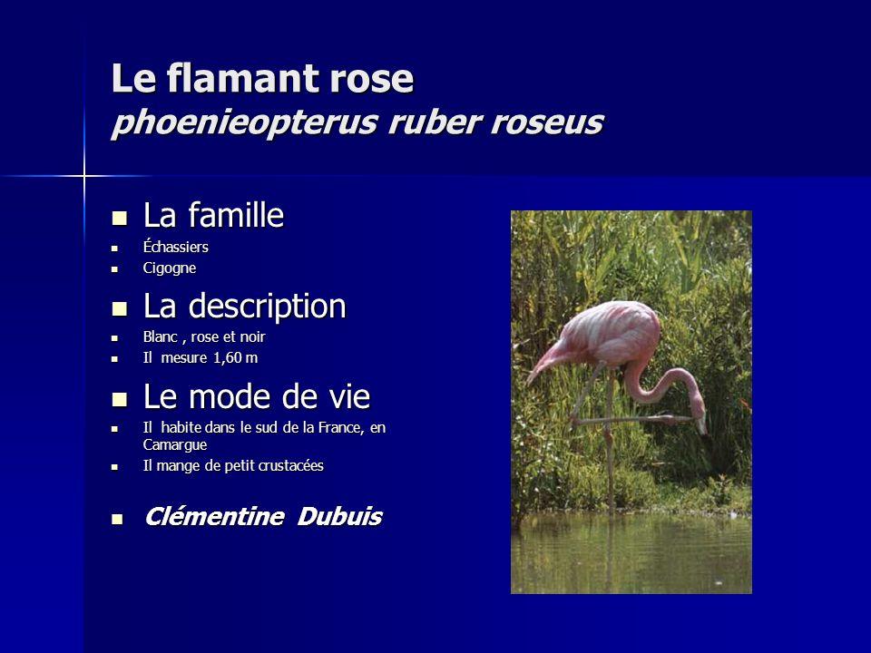 Le flamant rose phoenieopterus ruber roseus