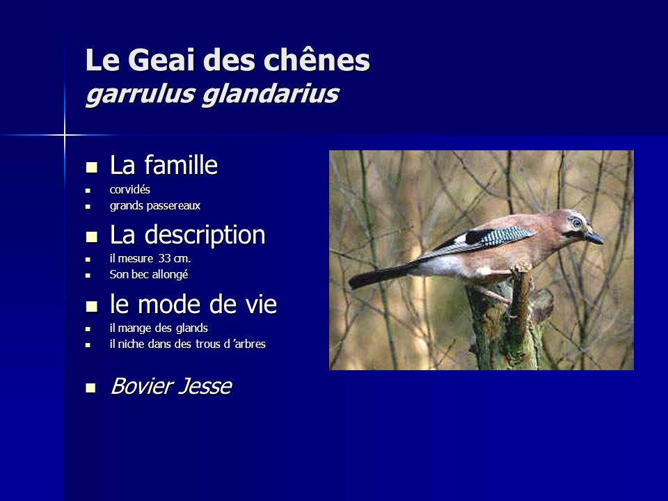 Le Geai des chênes garrulus glandarius