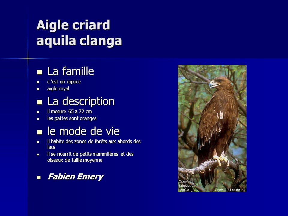 Aigle criard aquila clanga