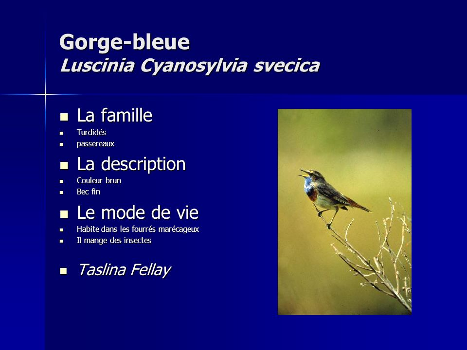 Gorge-bleue Luscinia Cyanosylvia svecica