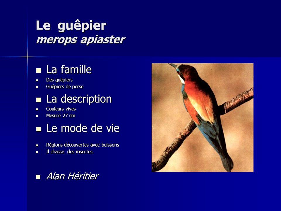 Le guêpier merops apiaster