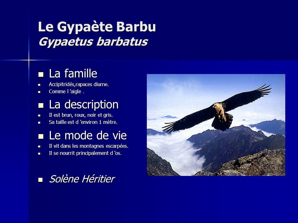 Le Gypaète Barbu Gypaetus barbatus