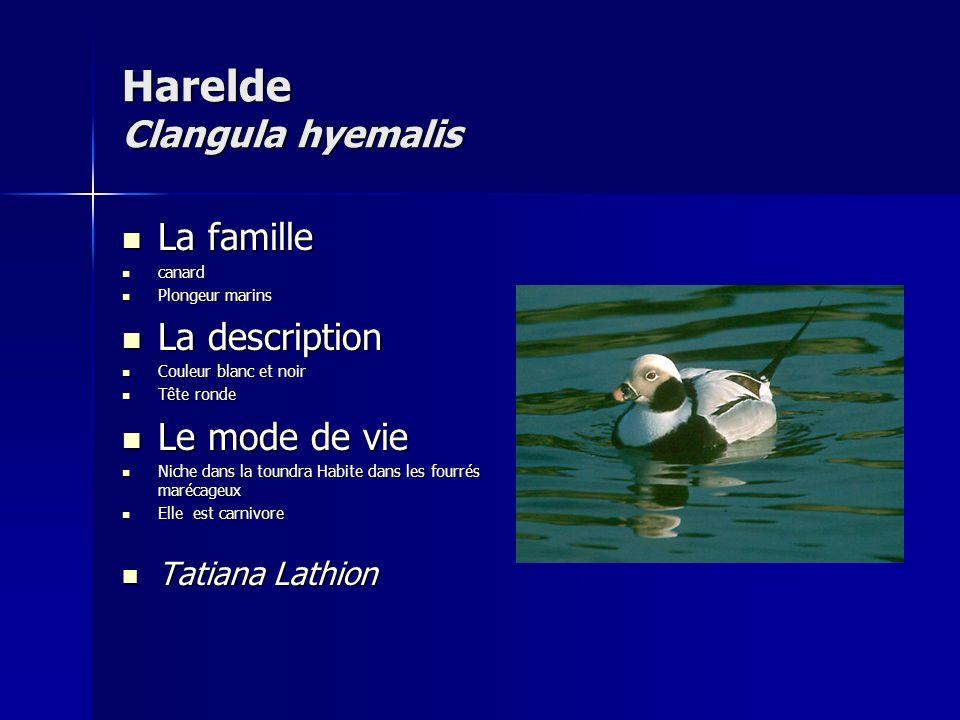 Harelde Clangula hyemalis