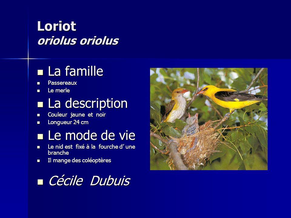 Loriot oriolus oriolus