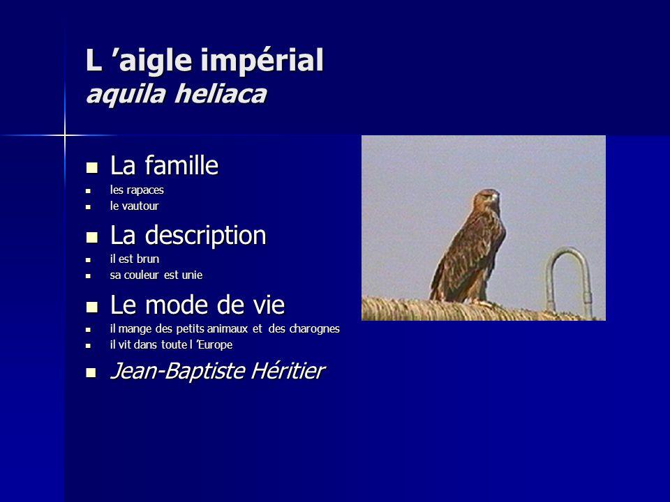 L 'aigle impérial aquila heliaca
