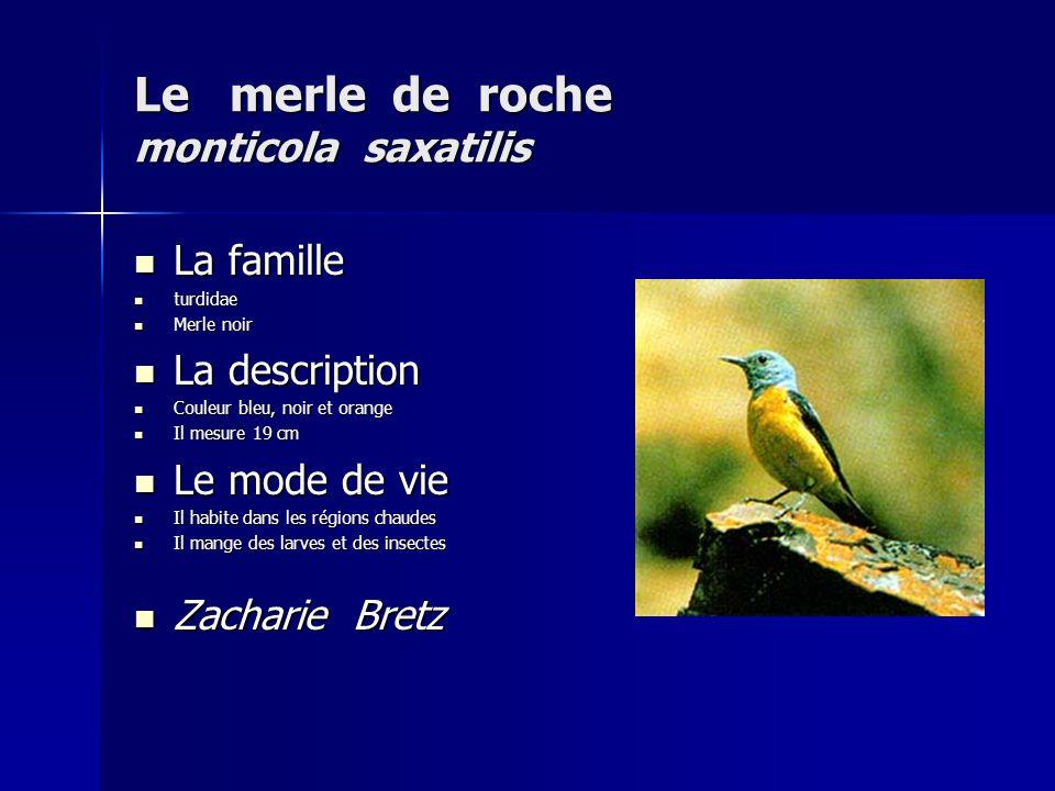 Le merle de roche monticola saxatilis