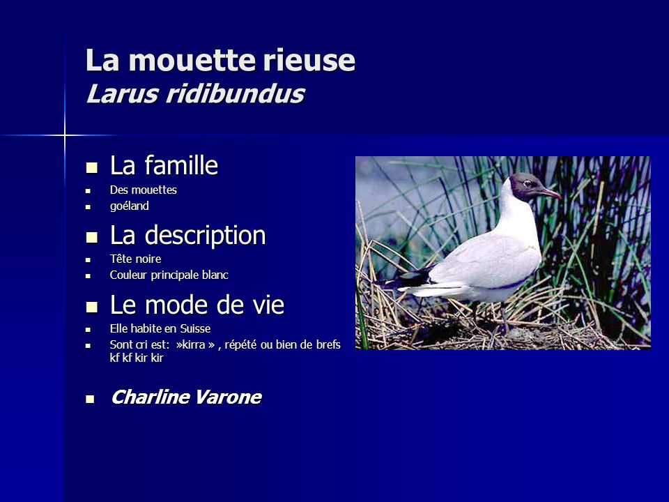 La mouette rieuse Larus ridibundus