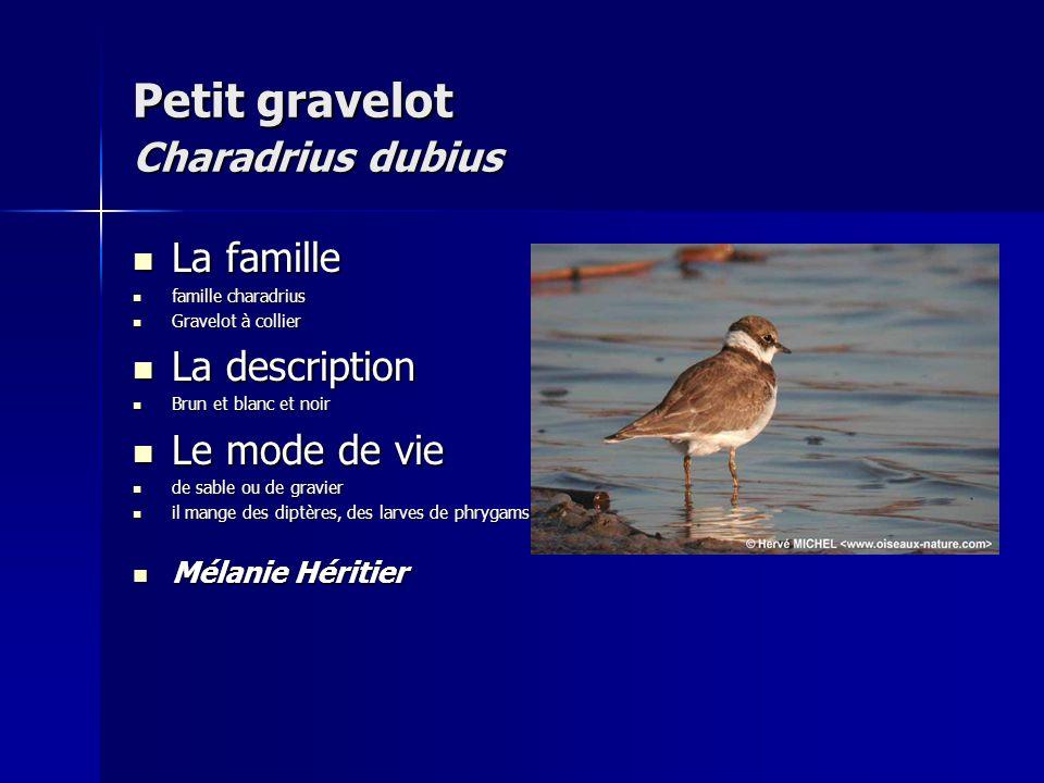 Petit gravelot Charadrius dubius