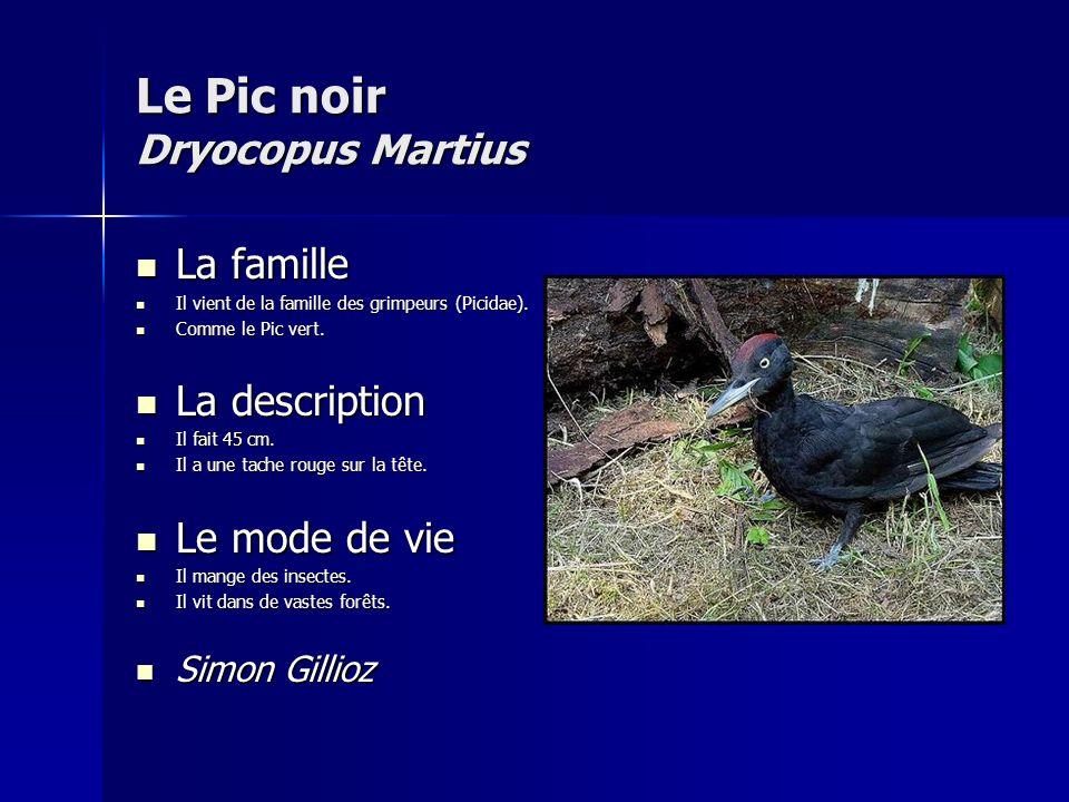 Le Pic noir Dryocopus Martius