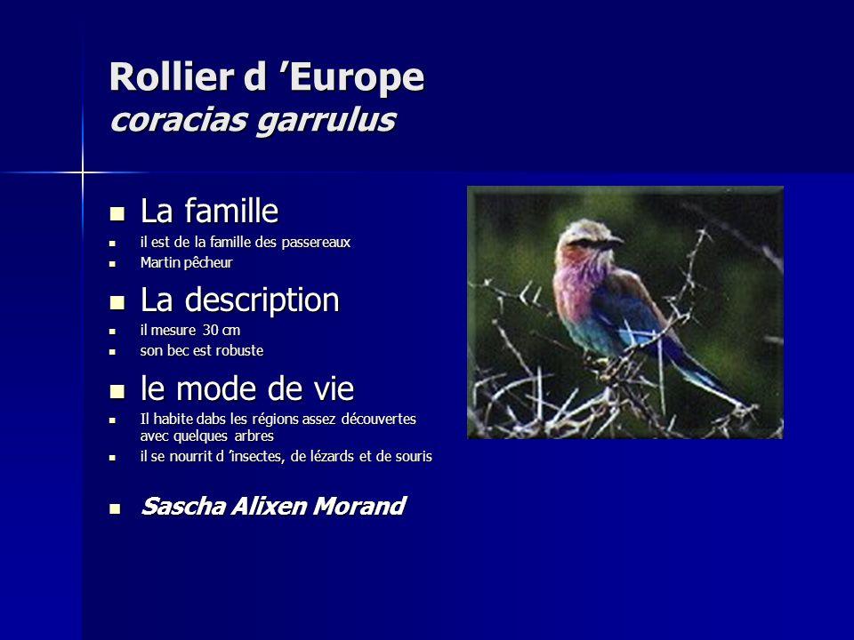 Rollier d 'Europe coracias garrulus