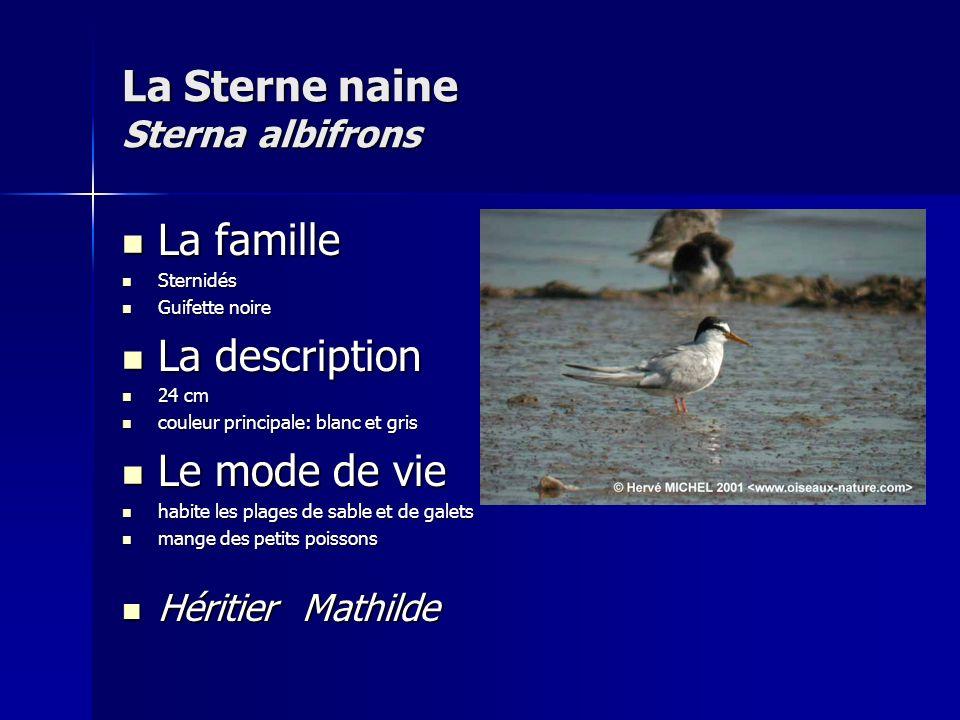 La Sterne naine Sterna albifrons