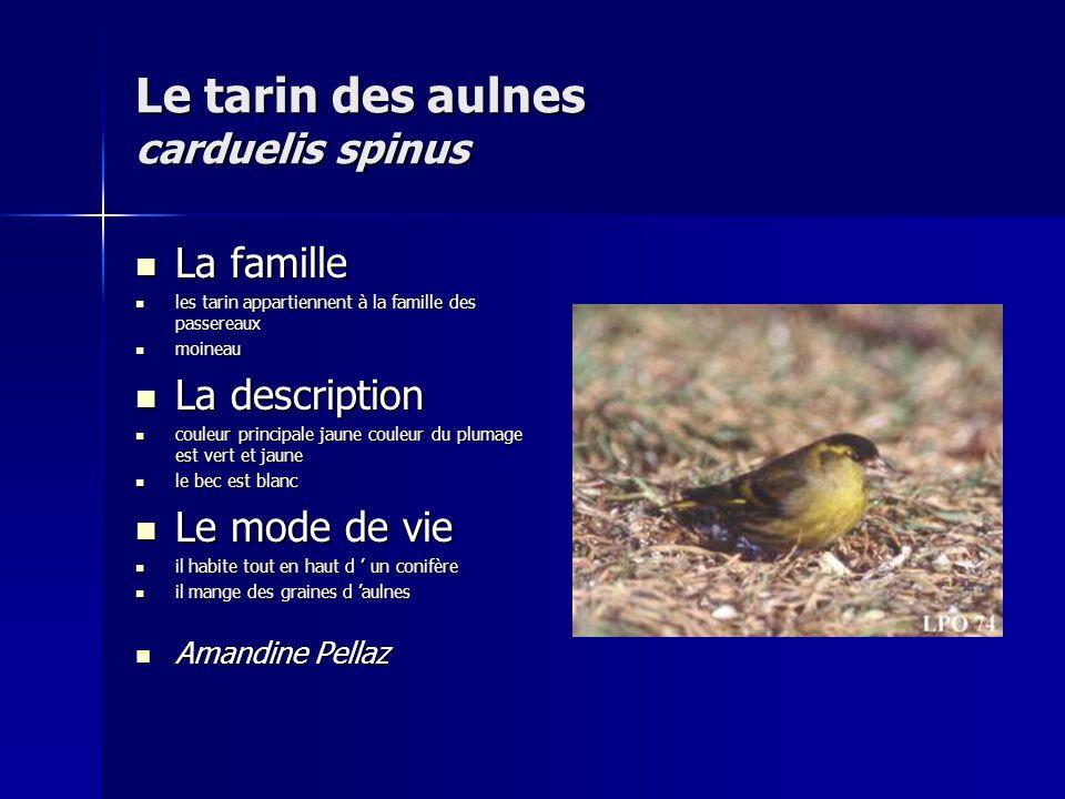 Le tarin des aulnes carduelis spinus