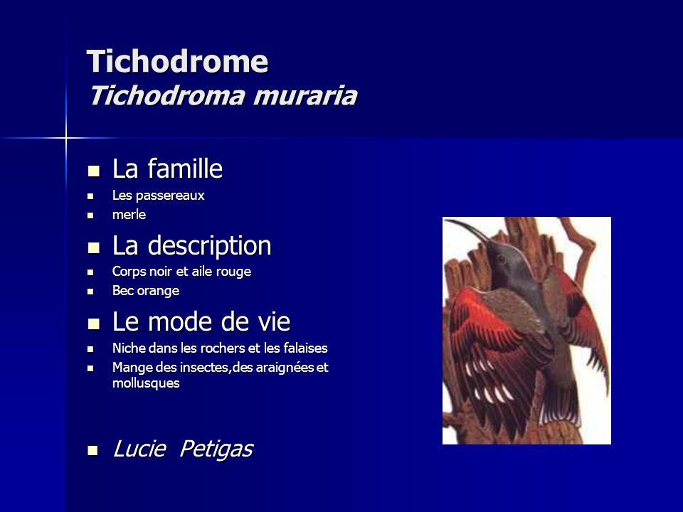 Tichodrome Tichodroma muraria
