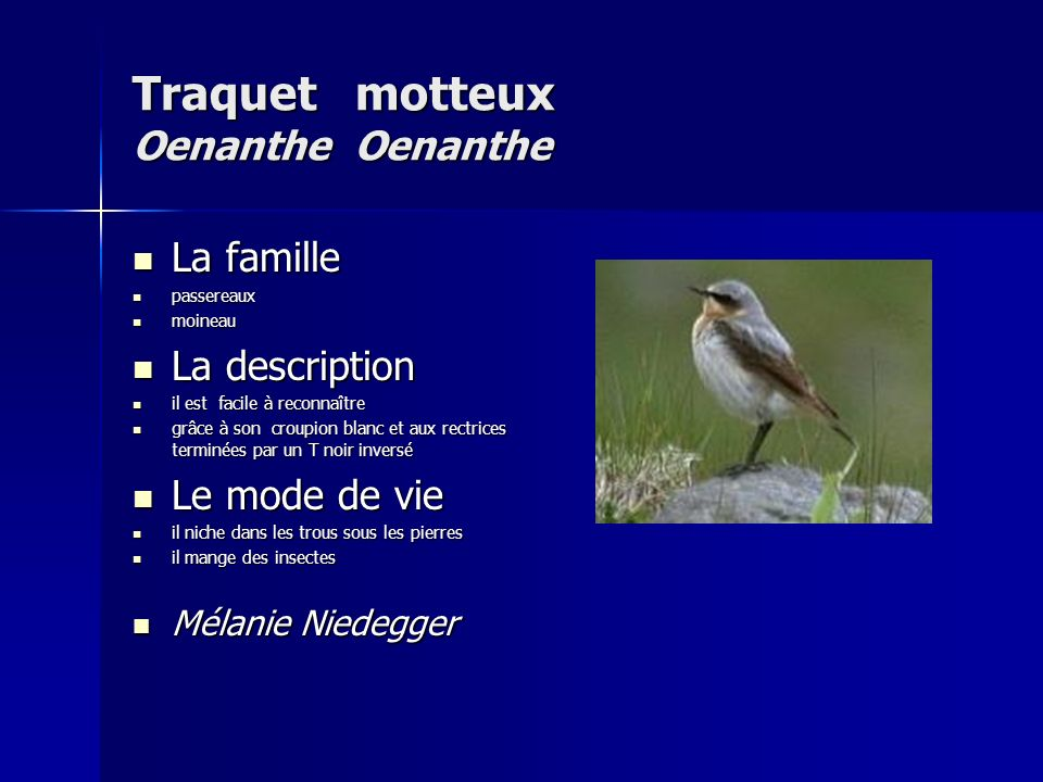 Traquet motteux Oenanthe Oenanthe
