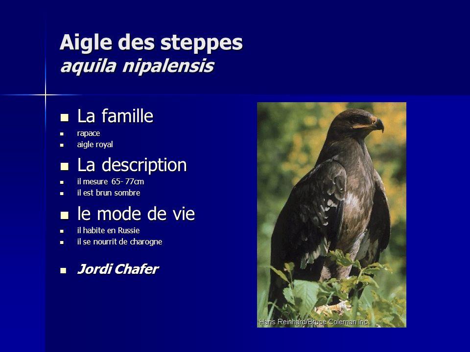 Aigle des steppes aquila nipalensis
