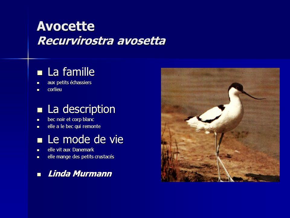 Avocette Recurvirostra avosetta