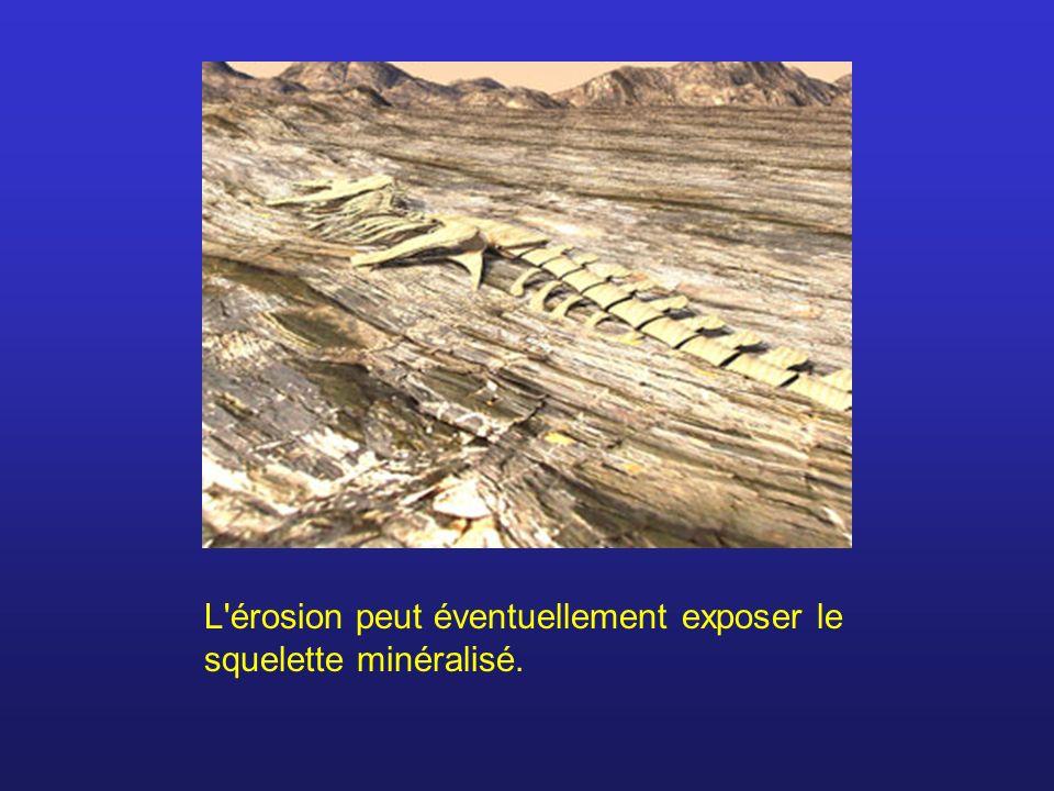 L érosion peut éventuellement exposer le squelette minéralisé.