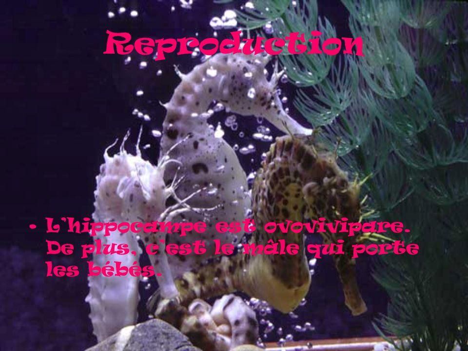 Reproduction L'hippocampe est ovovivipare. De plus, c'est le mâle qui porte les bébés.