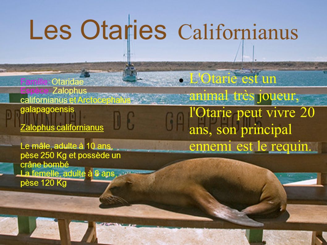 Les Otaries Californianus