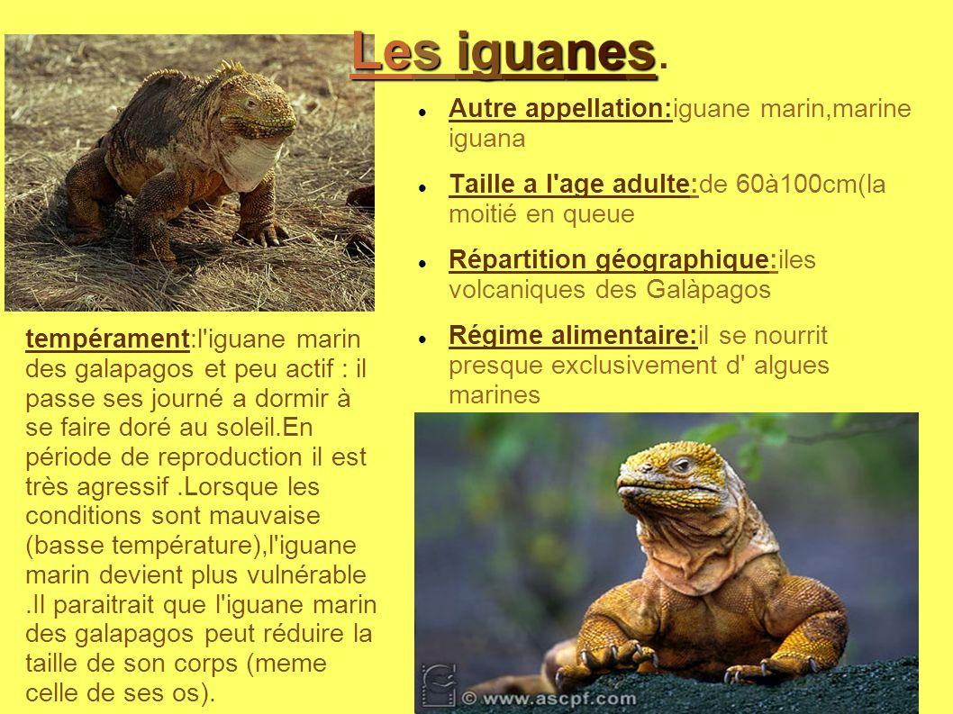 Les iguanes. Autre appellation:iguane marin,marine iguana
