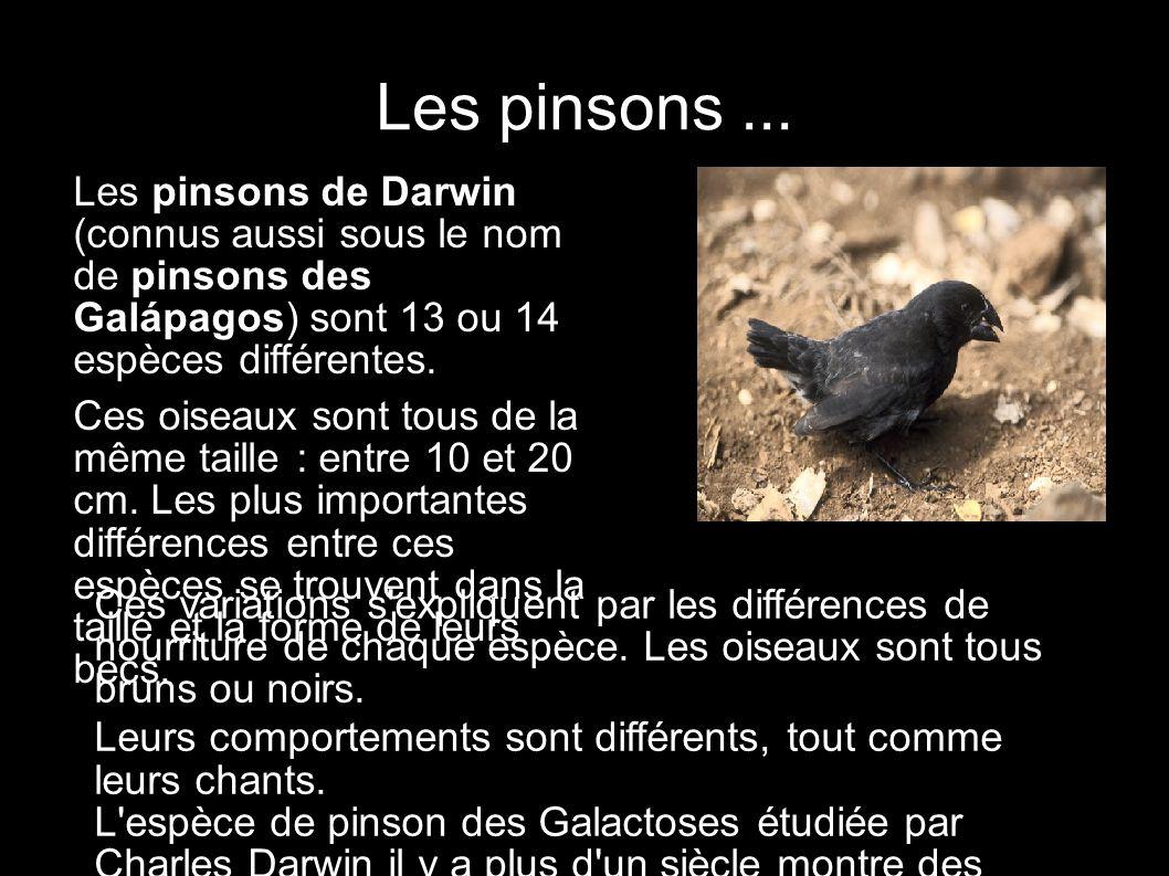 Les pinsons ... Les pinsons de Darwin (connus aussi sous le nom de pinsons des Galápagos) sont 13 ou 14 espèces différentes.