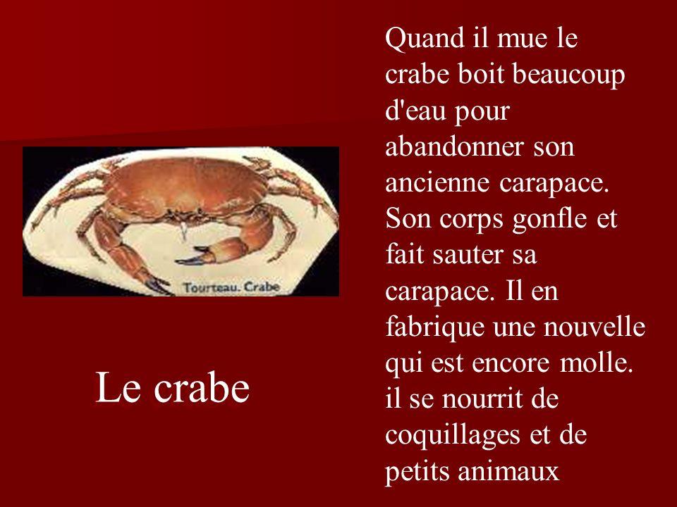 Quand il mue le crabe boit beaucoup d eau pour abandonner son ancienne carapace. Son corps gonfle et fait sauter sa carapace. Il en fabrique une nouvelle qui est encore molle. il se nourrit de coquillages et de petits animaux