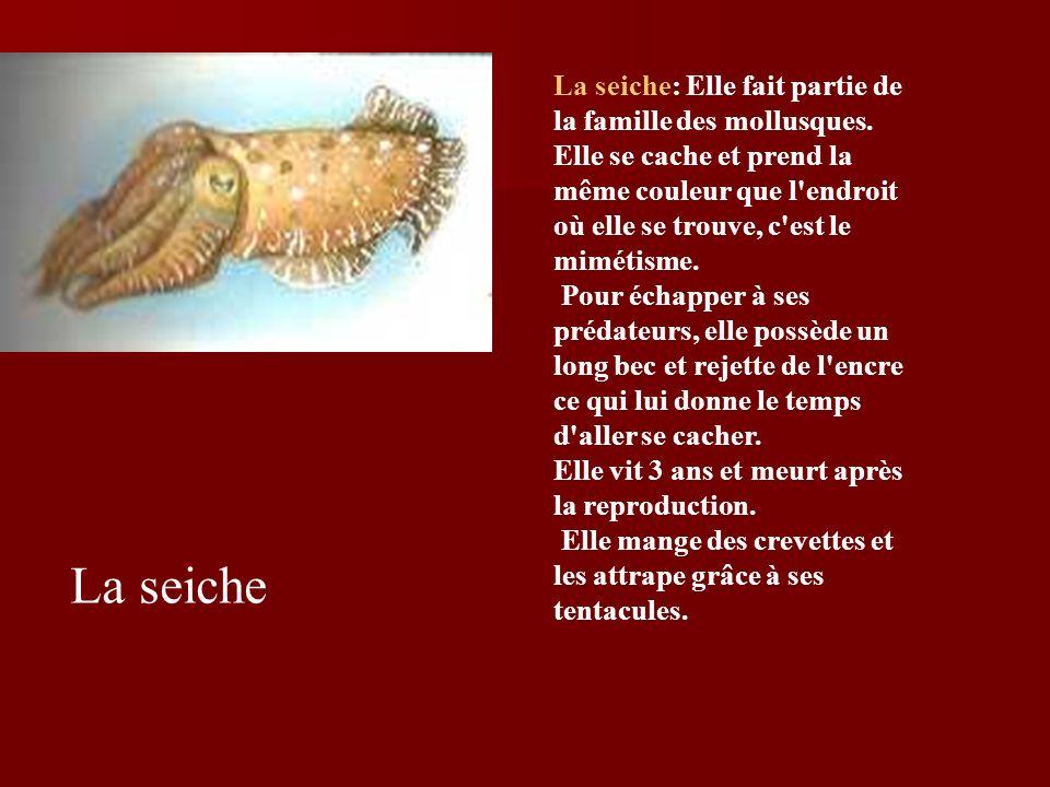La seiche: Elle fait partie de la famille des mollusques
