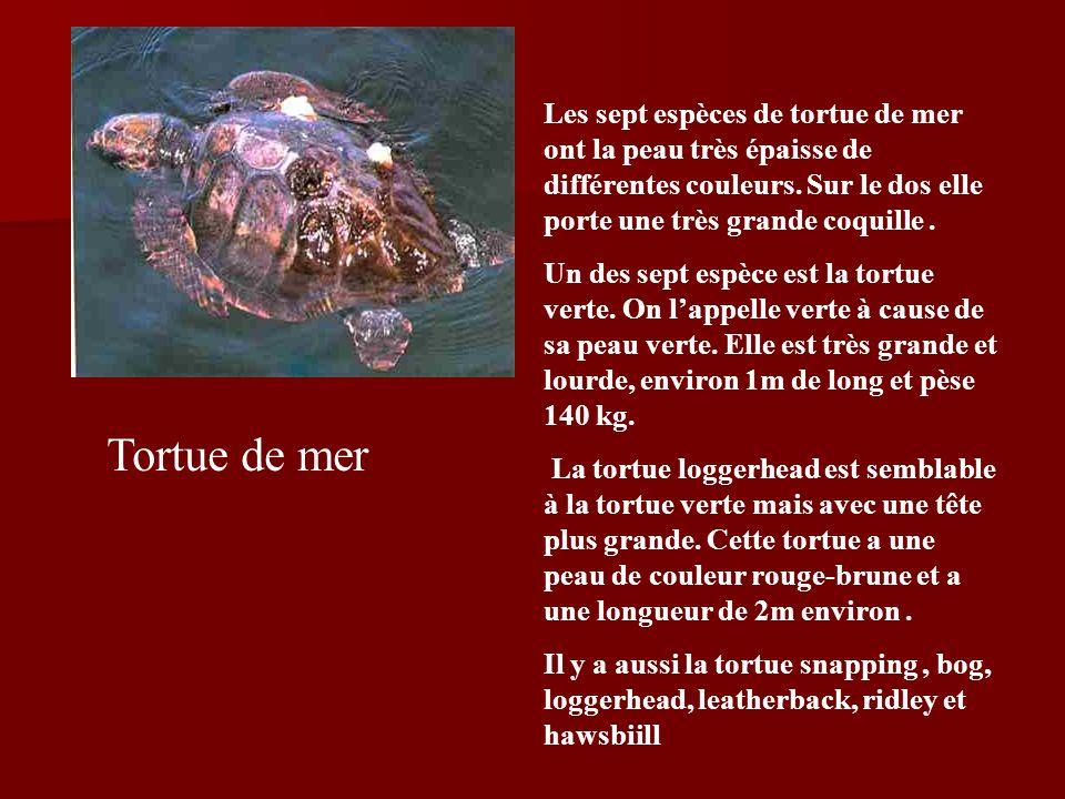 Les sept espèces de tortue de mer ont la peau très épaisse de différentes couleurs. Sur le dos elle porte une très grande coquille .