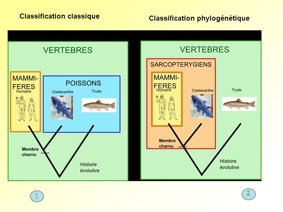 Classification classique Classification phylogénétique