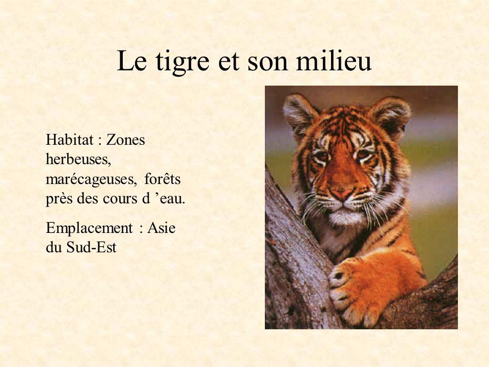 Le tigre et son milieu Habitat : Zones herbeuses, marécageuses, forêts près des cours d 'eau.