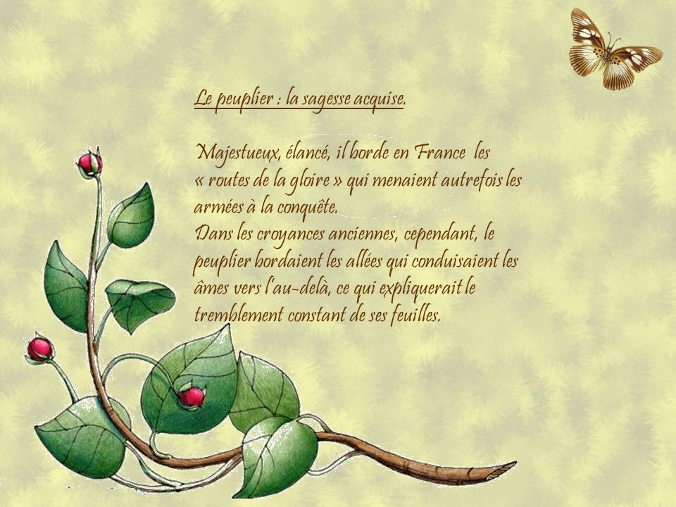 Le peuplier : la sagesse acquise.