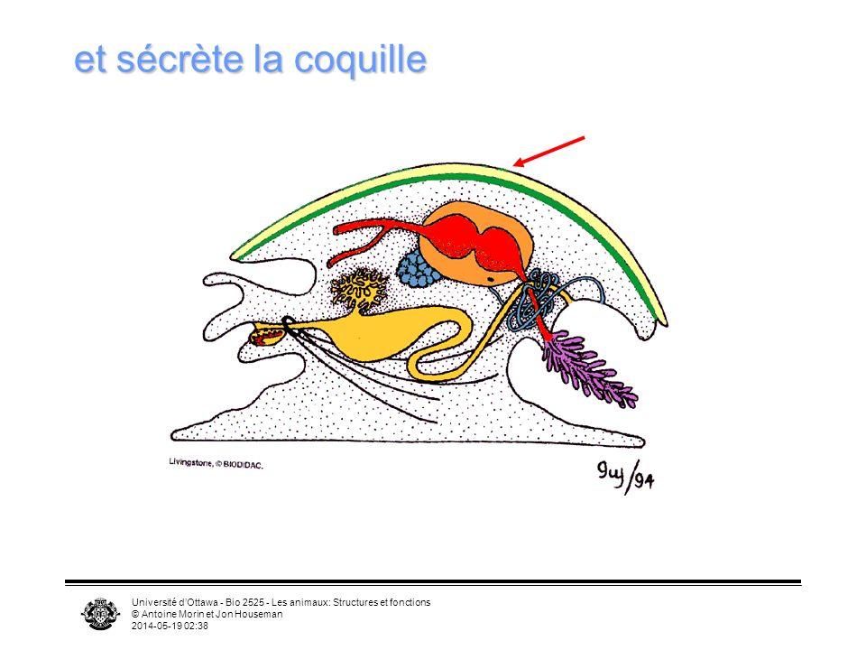 et sécrète la coquille Université d'Ottawa - Bio 2525 - Les animaux: Structures et fonctions. © Antoine Morin et Jon Houseman.