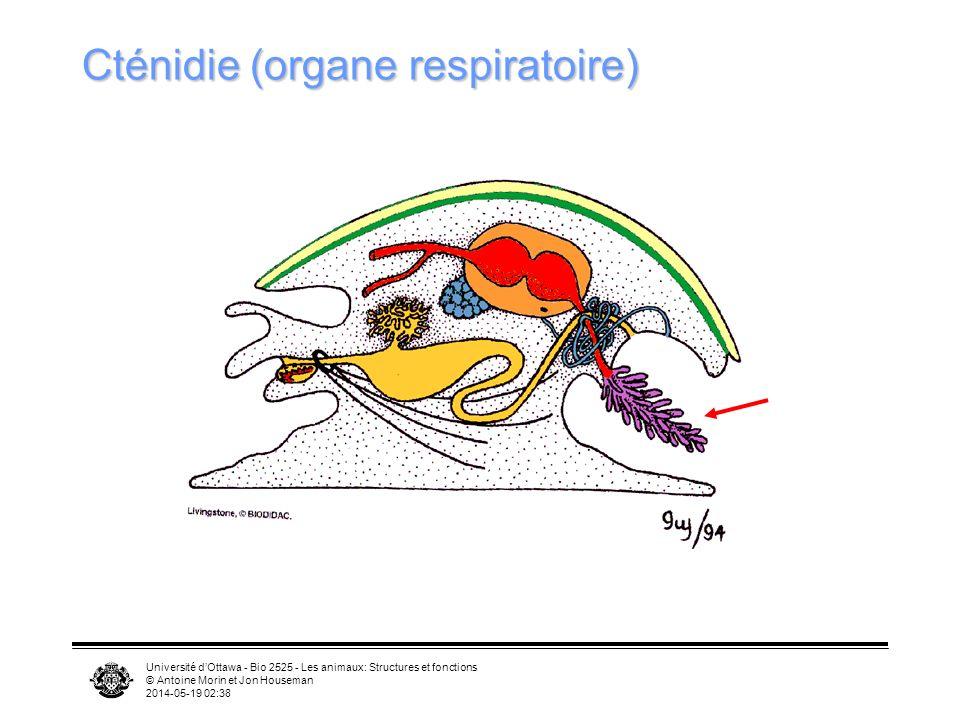 Cténidie (organe respiratoire)