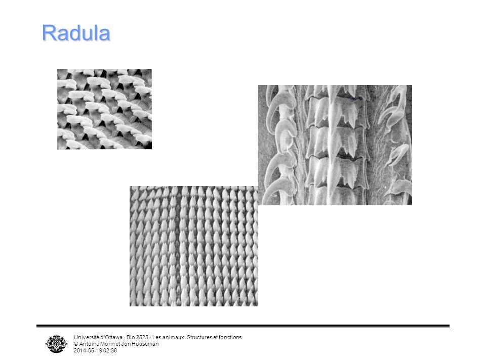 Radula Université d'Ottawa - Bio 2525 - Les animaux: Structures et fonctions. © Antoine Morin et Jon Houseman.