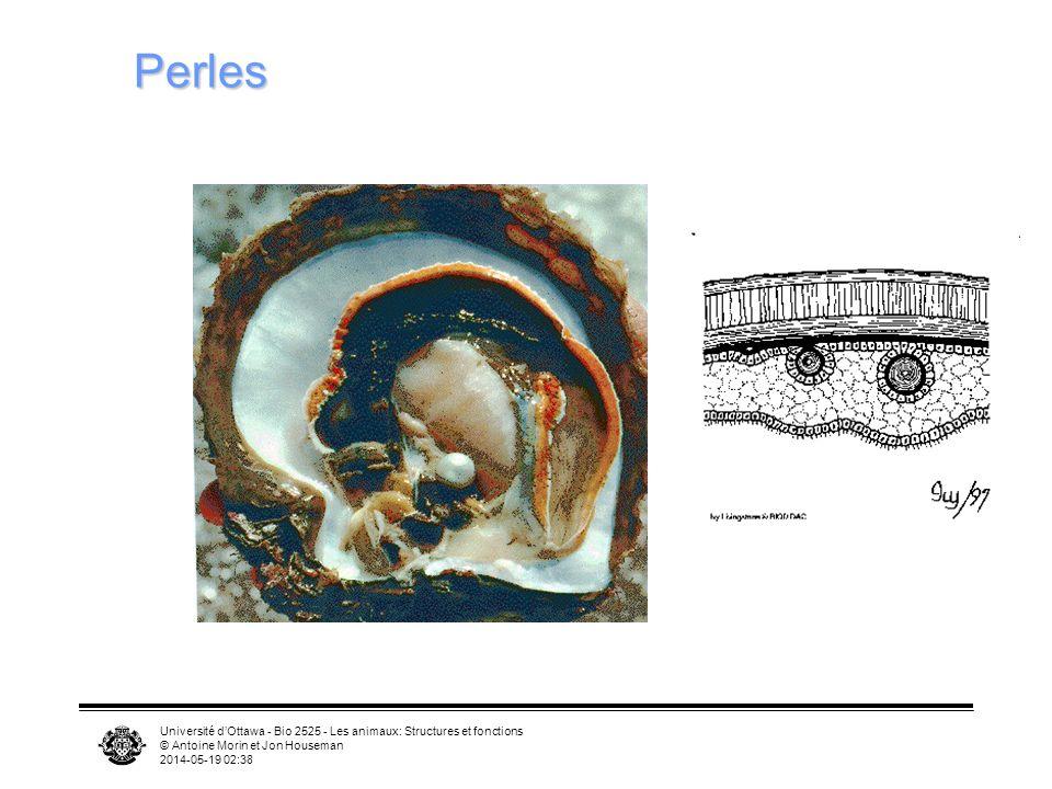 Perles Université d'Ottawa - Bio 2525 - Les animaux: Structures et fonctions. © Antoine Morin et Jon Houseman.