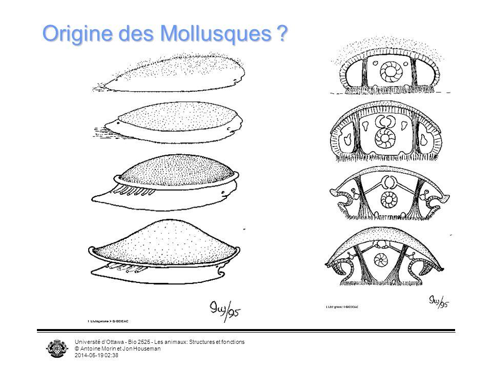 Origine des Mollusques
